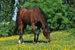 Reitpferd auf grüner Wiese mit gelben Blumen