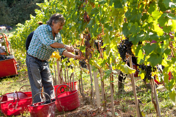 Vendemmia Raccolto dell'uva