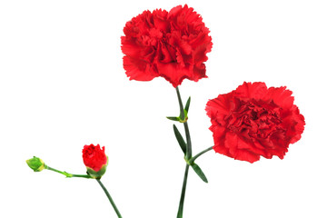 red carnation and bud