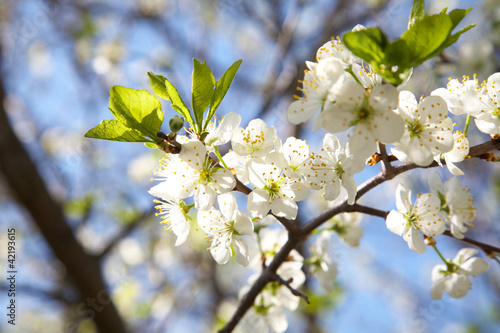 Blossoming plum in the spring