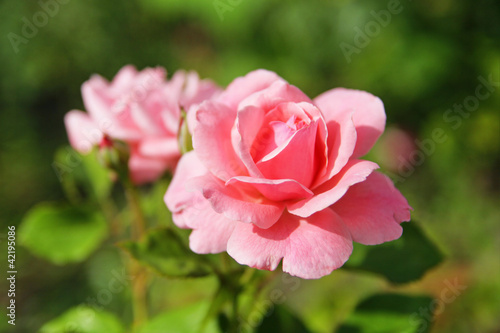 Pink rose with buds on a background of a green bush