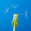 Dandelion with partial seeds