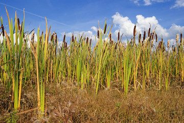 Cane thickets on a bog against the blue sky