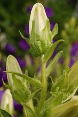 Weiße Blütenknospe