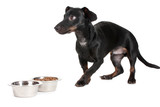 black little dachshund dog and food isolated on white