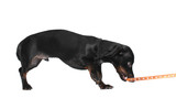black little dachshund dog and dog-collar on gray background