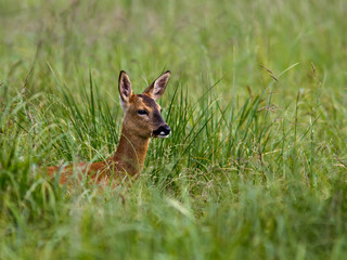 Roe Deer in field of long grass