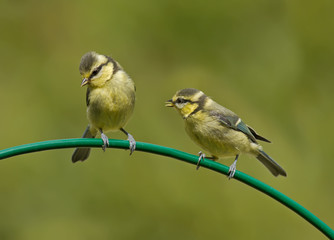 Two baby Blue Tits on a curved perch (Cyanistes caeruleus