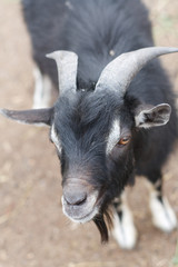 A black goat close up