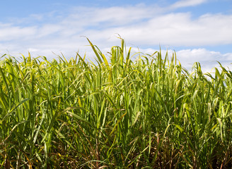 Sugar cane used in biofuel ethanol