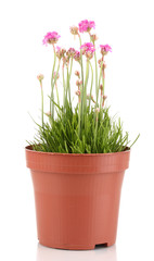 Pink flowers in pot isolated on white