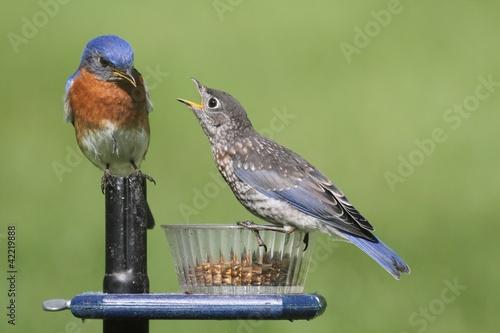 meski-wschodni-bluebird-z-dzieckiem