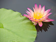 Floating pink water lily