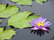 Floating purple water lily
