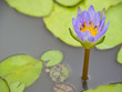 Nymphaea cyanea, Blue water lily
