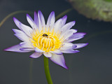 Bees on purple water lily