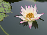 Floating two tone water lily