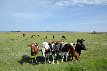 Cows at electric lines