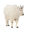 Rocky mountain goat  over white background