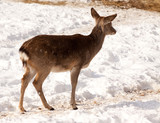 Female of  David's Deer