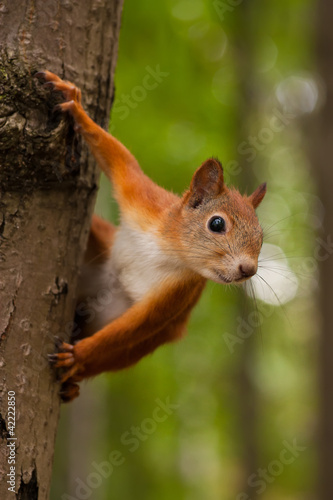 Aluminium Eekhoorn Red squirrel