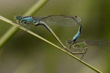 Libellen, Kopulation