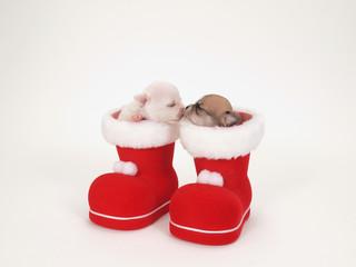 サンタのブーツに入った2匹のチワワの子犬