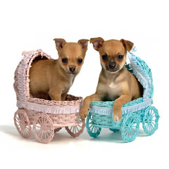 Puppies male and bitch in baby carriages