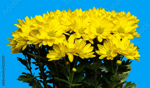 isolated chrysanthemum flowers on blue background