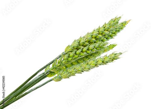 Green wheat ears isolated - 42234060