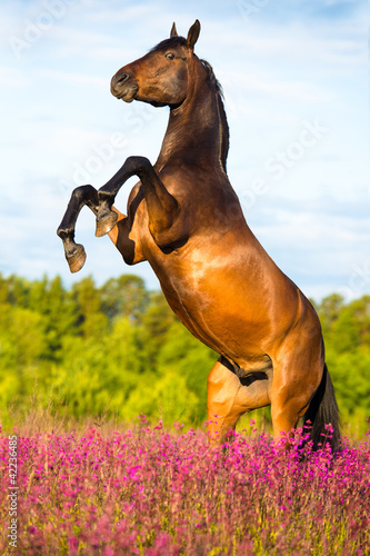 Fototapeta Bay horse rearing up on floral background