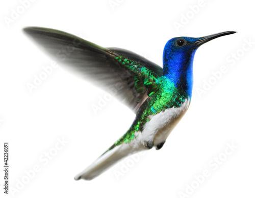 canvas print picture Kolibri auf Weiss