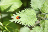 A Ladybird Resting on a Stinging Nettle Leaf. poster
