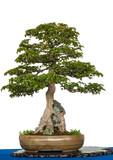 Ahornbaum über einen Felsen als Bonsai-Baum