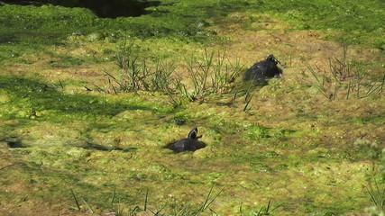 Turtles in Lake - HD1080