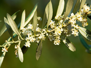 olive tre flowers in the spring
