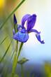 Bearded iris on shore