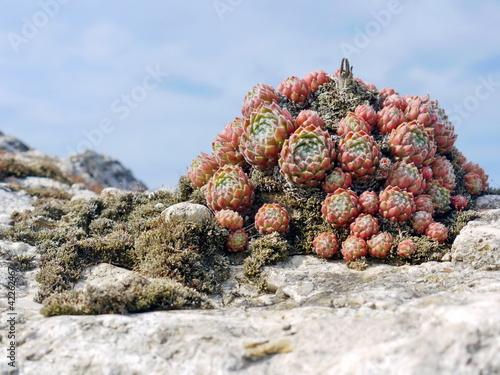 Sukkulenten Sempervivum