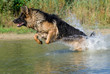 Deutscher Schäferhund 36
