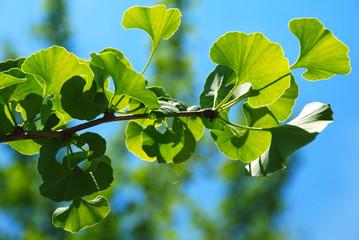 GINKGO BILOBA. PLANTA CON PROPIEDADES MEDICINALES