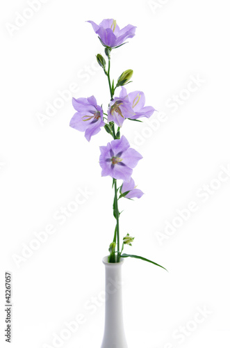 Campanula persicifolia, bell flower in white vase