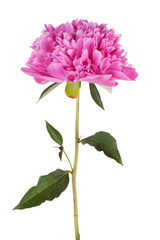 Large pink peony on a thin stalk