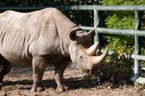 Rhino in Berlin Zoological Garden poster