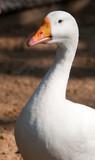 Goose in Berlin Zoological Garden poster