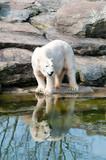 Polar white bear at the Berlin Zoological Garden poster