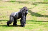 Gorilla in Berlin Zoological Garden poster