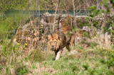 Lion in Berlin Zoological Garden poster