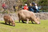 Capybara in Berlin Zoological Garden poster