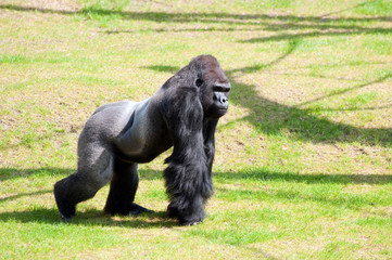 Gorilla in Berlin Zoological Garden