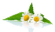 flowers of chamomile and nettle leaves on a white background